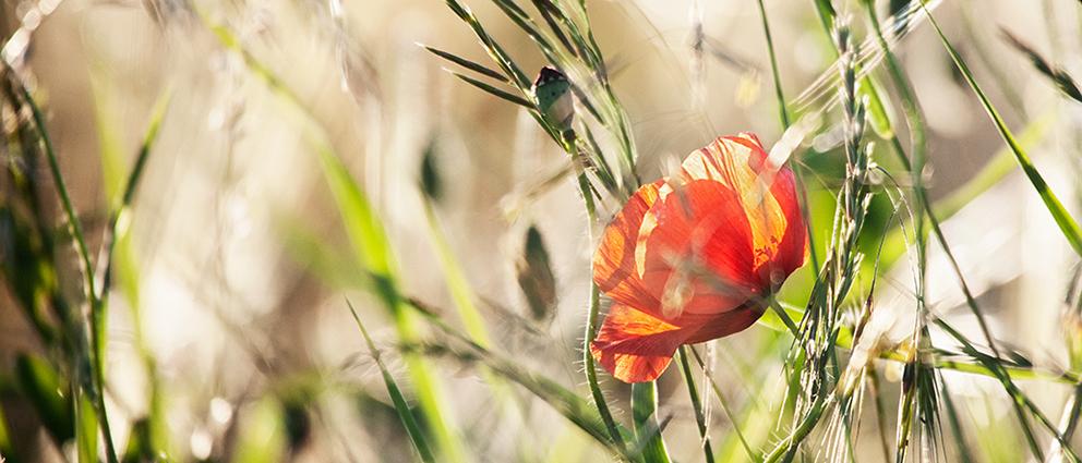 PiaObscura Fotografie Natur Mohn